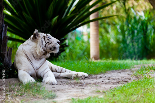 bialy-krolewski-tygrys-bengalski