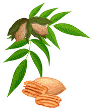 Pecan Nuts With Leaves Isolated