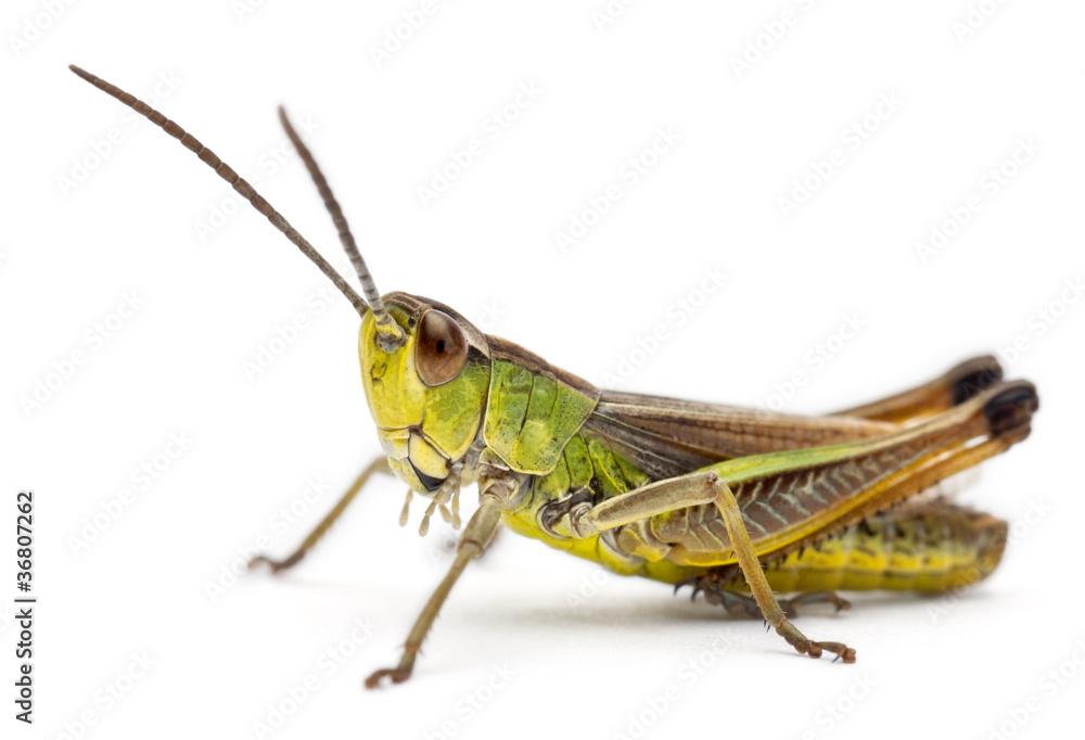 Fotografie, Obraz Grasshopper in front of white background