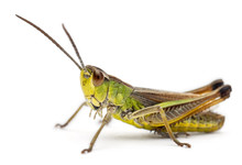 Grasshopper In Front Of White Background