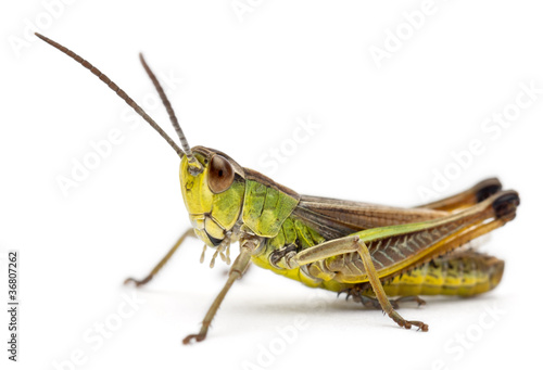 Fotografija Grasshopper in front of white background