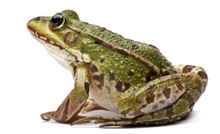 Common European Frog Or Edible...