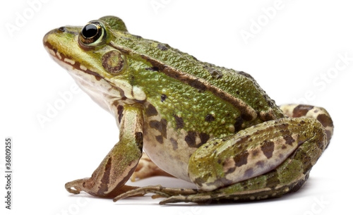 Foto op Canvas Kikker Common European frog or Edible Frog, Rana kl. Esculenta