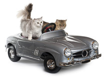 Persian Cat And Norwegian Fore...