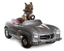 Yorkshire Terrier, 3 Years Old, Driving Convertible