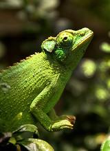 A Female Jackson's Chameleon P...