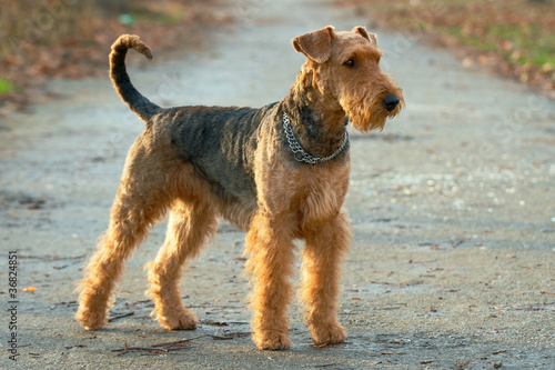 Airedale terrier Wallpaper Mural