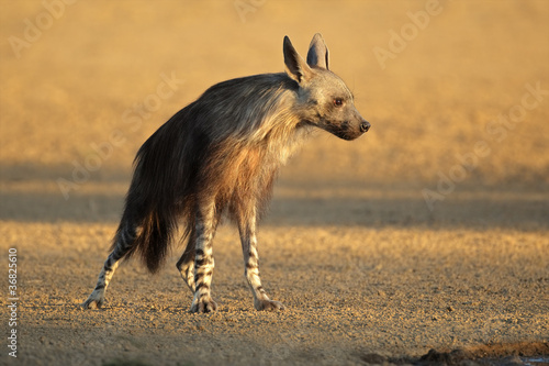 Foto op Canvas Hyena Brown hyena