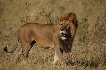FototapetaLion (Panthera leo) in Masai Mara National Reserve (Kenya)