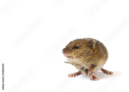 Fotografía  Little mouse