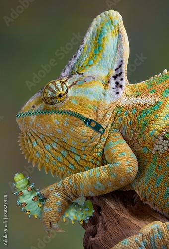 Staande foto Kameleon Hungry Chameleon