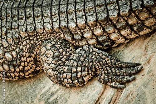 Wall Murals Crocodile Fuß des Krokodils