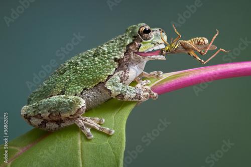 Frog biting grasshopper