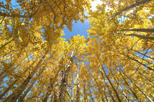 Upward View Of Fall Aspen Trees