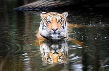 Panthera Tigris Tigris Commonl...