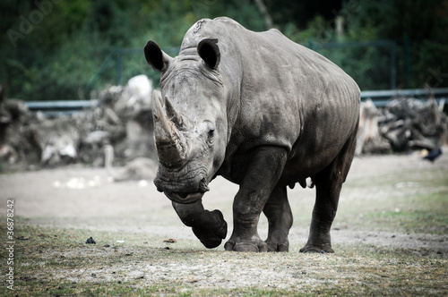 Spoed Foto op Canvas Neushoorn Ceratotherium simum commonly know as white rhino in zoo