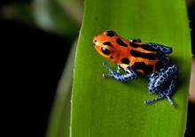 Red Striped Poison Dart Frog B...