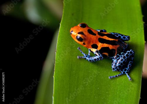 Fotografía  red striped poison dart frog blue legs