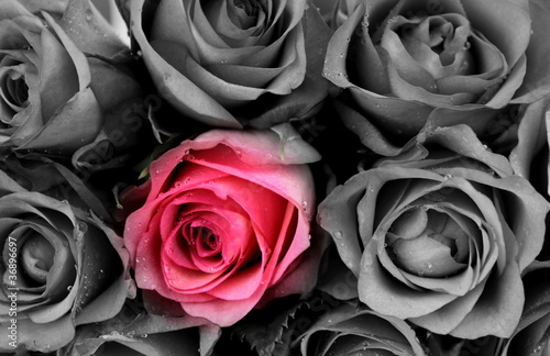 Roses colored and B&W - 36896697