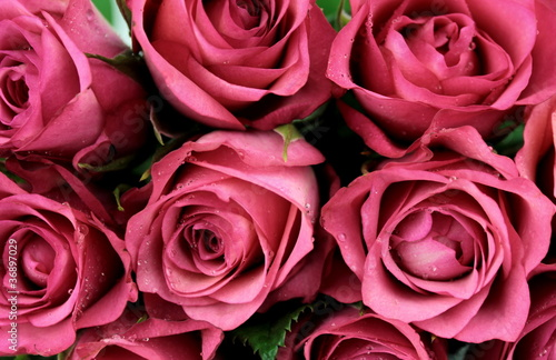 Pink roses - close-up - 36897029