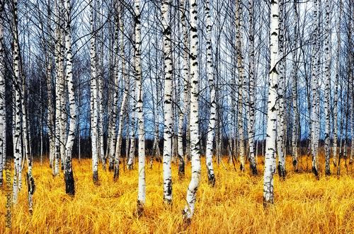 Cadres-photo bureau Bosquet de bouleaux Birch grove