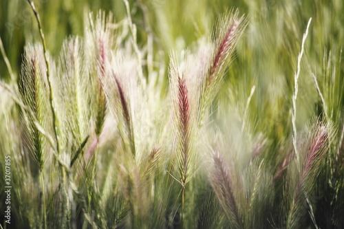 Fotografiet  grano selvatico