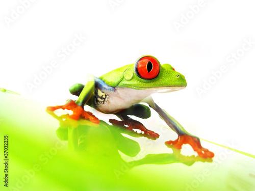 Foto auf Leinwand Frosch Rotaugenlaubfrosch 110 Agalychnis callidryas