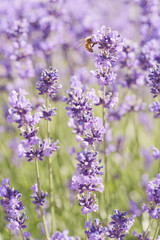 Fototapeta Lawenda Bee and Lavender