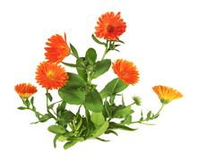 Plant De Souci