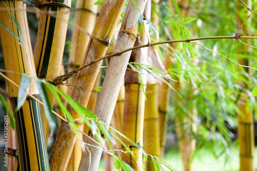 Obrazy dżungla   las-bambusowy