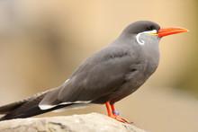 Portrait Of An Inca Tern
