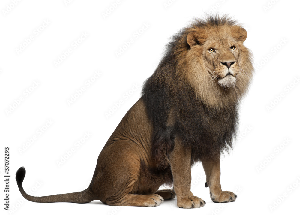 Fototapeta Lion, Panthera leo, 8 years old, sitting