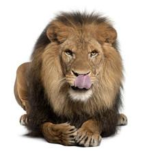 Lion Licking Lips, Panthera Le...