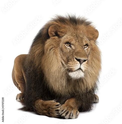 Foto op Plexiglas Leeuw Lion, Panthera leo, 8 years old, lying