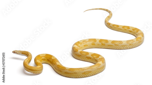 Fotografia, Obraz Butter mothley Corn Snake or Red Rat Snake,Pantherophis guttatus