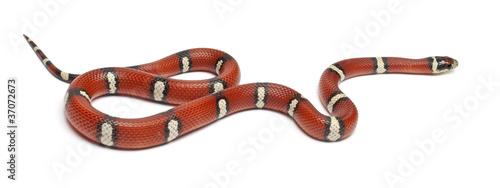 Fotografía Milk snake or milksnake, Lampropeltis triangulum nelsoni