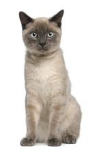 Siamese Kitten, 6 Months Old, Sitting