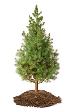 Young Spruce (Picea Glauca Conica)