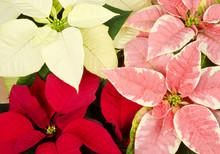 Colorful Poinsettia Closeup