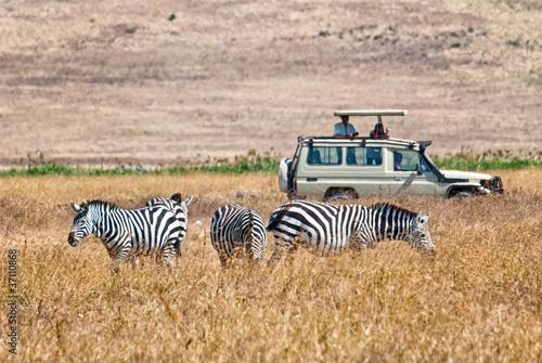 Poster Afrique du Sud Tourists wathing zebras eating