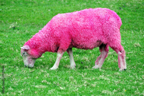 Foto op Aluminium Schapen Pink Sheep