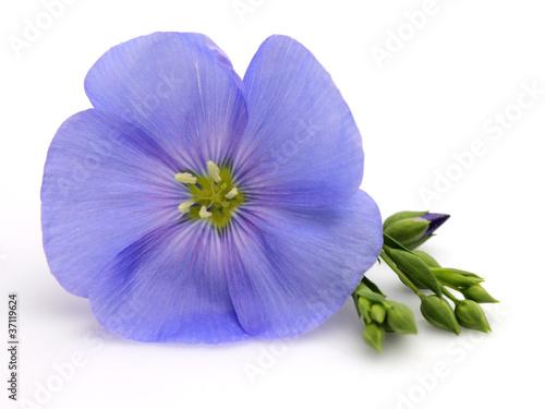 Obraz Flower of flax - fototapety do salonu