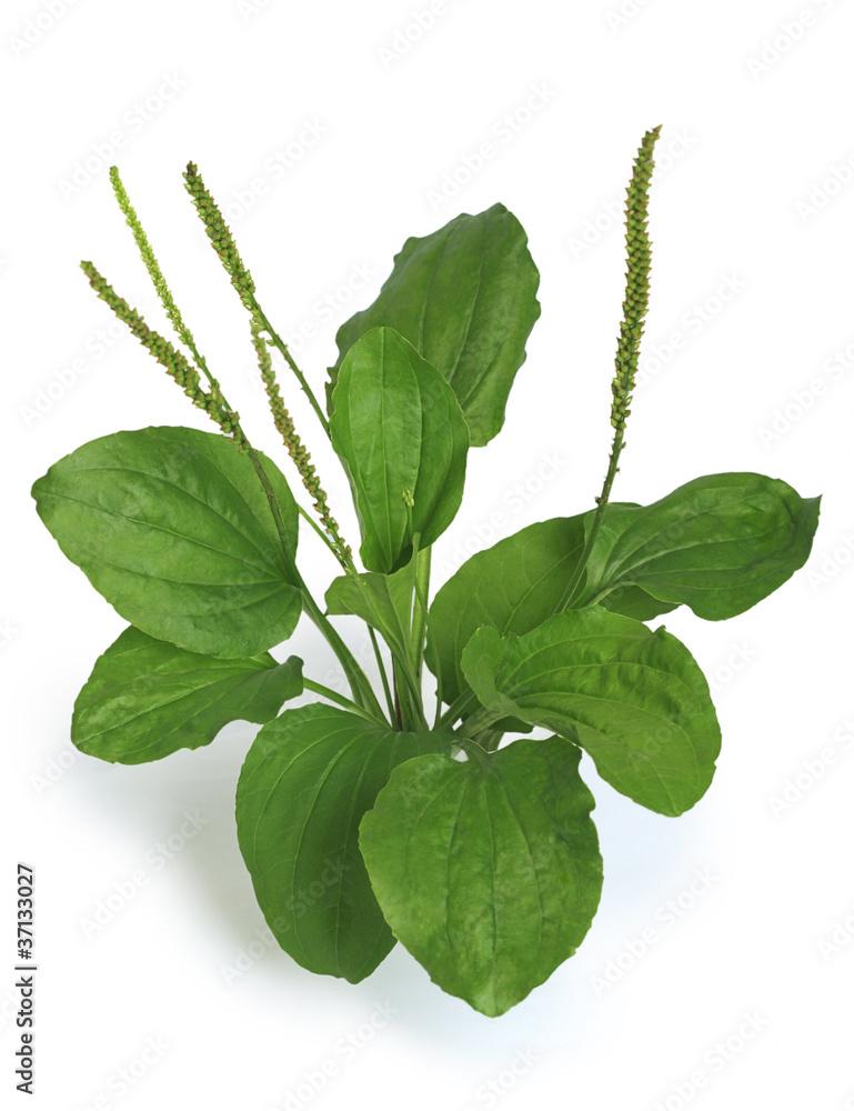 Fototapety, obrazy: Greater Plantain (Plantago major)
