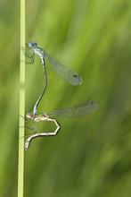 Mating Azure Damselflies, Macro Photo