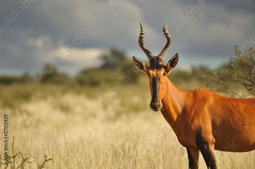 Poster Antelope Bubale dans l'orage