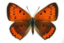 Female Of Large Copper (Lycaena Dispar), Endangered Butterfly