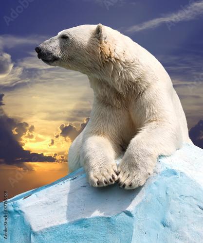 Staande foto Ijsbeer polar bear