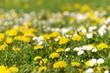 Blumenwiese, Taraxacum, Bellis perennis