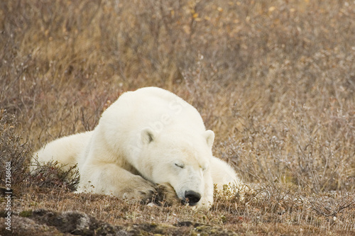 Tuinposter Ijsbeer Sleeping Polar Bear