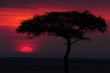 Silhouette of acacia tree at sunset
